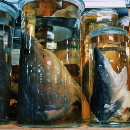 Decapitated sharks' heads in jars.