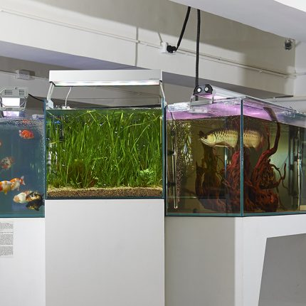 Photograph of three fish tanks in a gallery. Two tanks clearly have fish in the third only plants can be seen.